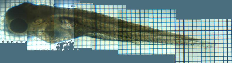 fig.02 モツゴ前期仔魚 click here to enlarge